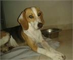 Regalo cachorro labrador retriever barcelona