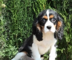 ultimo macho cavalier king..., vacunado