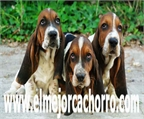 Incre�ble Basset Hound, espectaculares