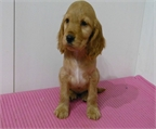 Criadero de cocker spaniel:dorado y chocolate.pedigree LOE