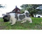 Gorgeous Cachorros Akita Inu disponibles