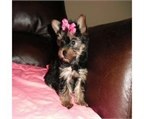 Puppies AKC Yorkshire Terrier
