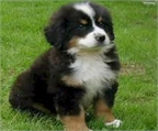 Cachorros de monta�a de Bernese disponibles