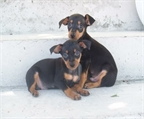 DISPONIBLE PRECIOSOS CACHORROS MINIPINCHER