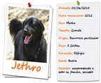 .Jethro Golden Retriever.