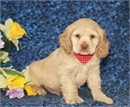 Cocker spaniel cachorros disponibles