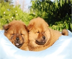 Los mejores chow chow, gran ocasion