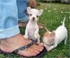 Regalo cachorro chihuahua almeria