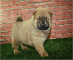 Chow Chow, incre�bles y estupendos