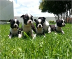 Boston terrier, cachorros adorables