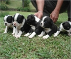 �Oportunidad! Boston terrier, ocasion