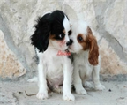 Cavalier vendo cachorritos