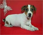 Jack Russel, excelentes cachorros �Aprovecha!