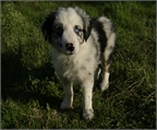 .Border Collie linea Cal Manistro con pedigree LOE.