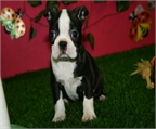 Disponible preciosos cachorros Boston Terrier