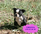 Peque�os y adorbales de boston terrier