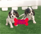 Cavalier, cachorros incre�bles