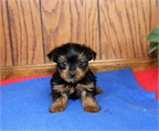 REGALO MACHO Y HEMBRA CACHORROS YORKSHIRE TERRIER