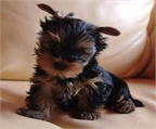 Cachorros Yorkshire Terrier disponibles