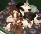 boston terrier para su aprobaci�n