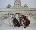 Maine Coons de Mirecoons