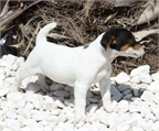 Jack russell, excelentes y adorables