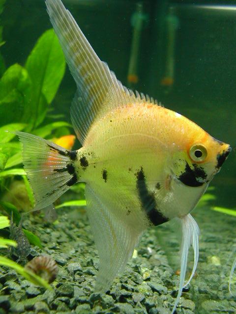 Criadero de peces juan marin mundimascota for Criadero de peces de colores